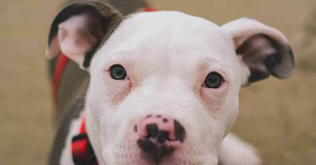 Pit Bull Quotes