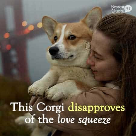 Disapproving corgi in a tight love squeeze